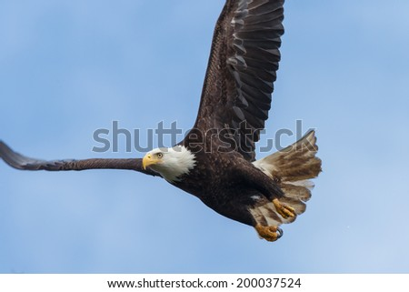 Bald Eagle flying - stock photo