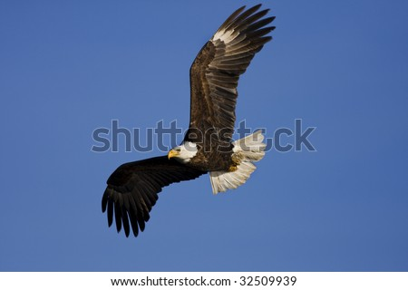 Bald Eagle flying by. - stock photo