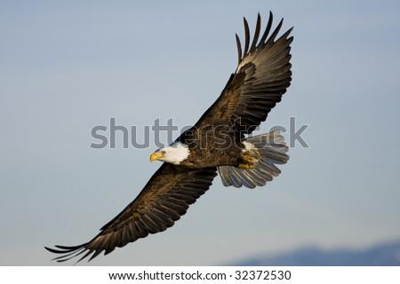 Bald Eagle flying by at Farmington Bay, UT - stock photo