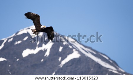 bald eagle flying in Alaska - stock photo
