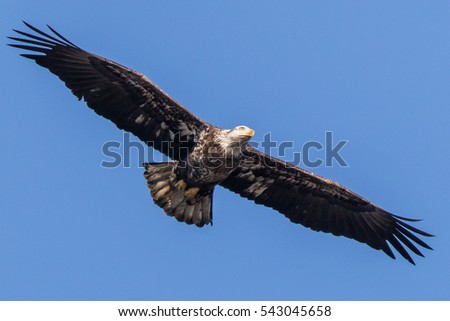 Bald Eagle Flying in Clear Blue Sky