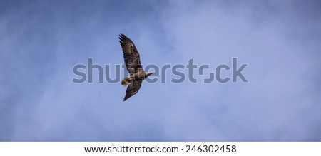 Bald Eagle Flying in the Wild - stock photo