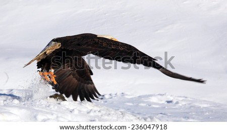 Bald Eagle flying low - stock photo