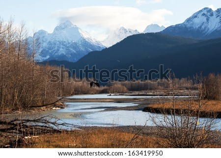 Bald eagle flying near the Chilkat river near Haines, Alaska in fall with snow covered mountains. - stock photo