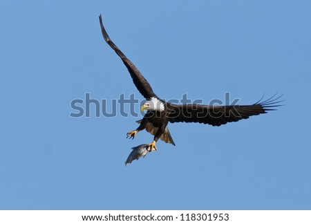 Bald Eagle flying with caught fish in talons.