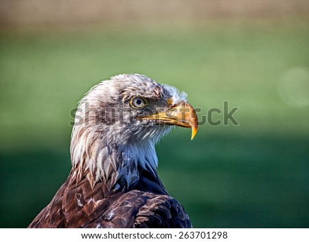 Bald Eagle (Haliaeetus leucocephalus), a bird of prey found in North America