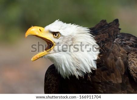 Bald Eagle (Haliaeetus leucocephalus) calling - stock photo
