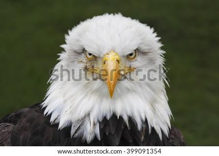 Bald Eagle (Haliaeetus leucocephalus) head portrait (captive) - stock photo