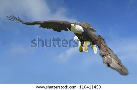 Bald Eagle (Haliaeetus leucocephalus) in flight. . Also known as the American Eagle. - stock photo