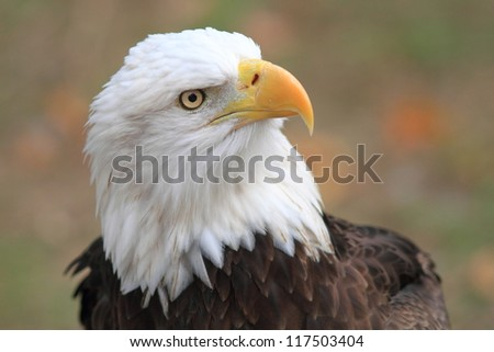 Bald Eagle (Haliaeetus leucocephalus) in Florida, North America