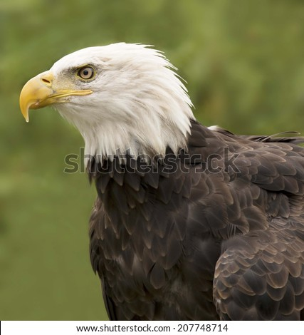 Bald Eagle (Haliaeetus leucocephalus) is a bird of prey found in North America. Its range includes most of Canada and Alaska, all of the contiguous United States, and northern Mexico.  - stock photo