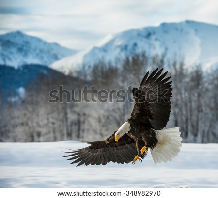 Bald Eagle ( Haliaeetus leucocephalus ) landed on snow   - stock photo