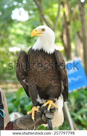 Bald Eagle (Haliaeetus leucocephalus) on a branch - stock photo