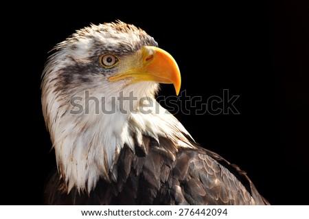 Bald Eagle - Haliaeetus leucocephalus on black background - stock photo