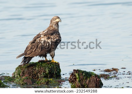 Bald Eagle (Haliaeetus leucocephalus washingtoniensis) perched on a rock in the water. Vancouver Island, British Columbia, Canada, North America.