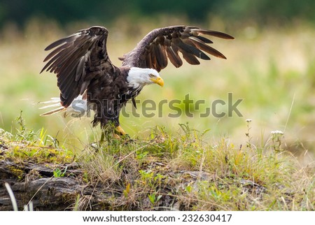 Bald Eagle (Haliaeetus leucocephalus washingtoniensis) stretching its wings before taking flight. British Columbia, Canada, North America.
