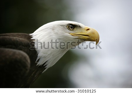 Bald eagle head front - photo#7