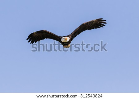 Bald eagle head-on. A magnificent bald eagle appears to fly straight at the camera. - stock photo