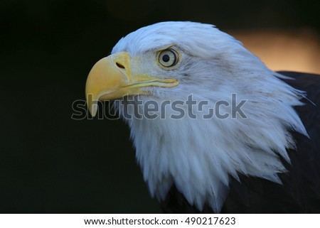 Bald Eagle horizontal closeup