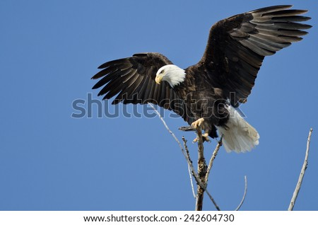 Bald Eagle Hunting From The Tree Top - stock photo