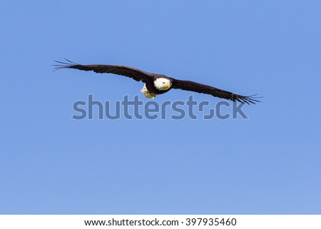 Bald Eagle in a blue sky. A magnificent bald eagle sweeps across a clear blue sky. - stock photo