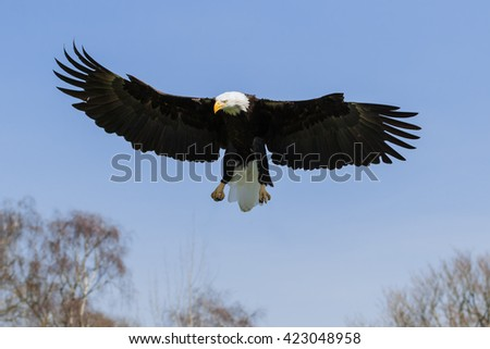 Bald Eagle in a blue sky. A splendid bald eagle vividly displays the size of its wings as it descends in a clear blue sky. - stock photo