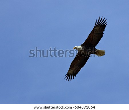 Bald eagle in flight agains a blue sky