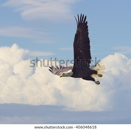 Bald Eagle in Flight against the Sky - stock photo