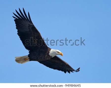 Bald eagle in flight (clipping path included) - stock photo