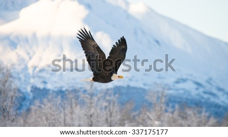 Bald Eagle in flight on a background of snowy mountains. USA. Alaska. Chilkat River. An excellent illustration.