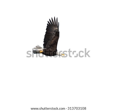 Bald Eagle in Flight on White Background, Isolated
