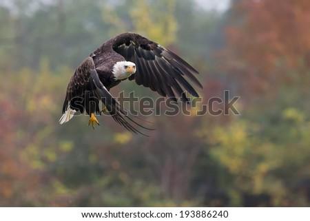Bald Eagle in flight pose - stock photo