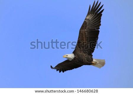 Bald Eagle In Flight/Soaring - stock photo