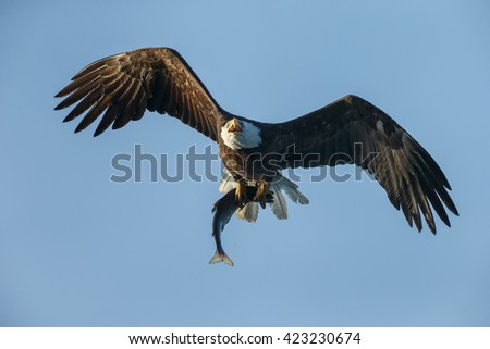Bald eagle in flight with a silver salmon in his claws.