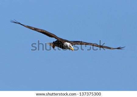Bald Eagle in Flight with Blue Sky. - stock photo