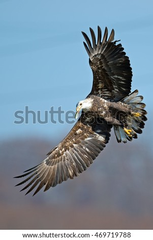 Bald Eagle in Flight with Fish in Mouth