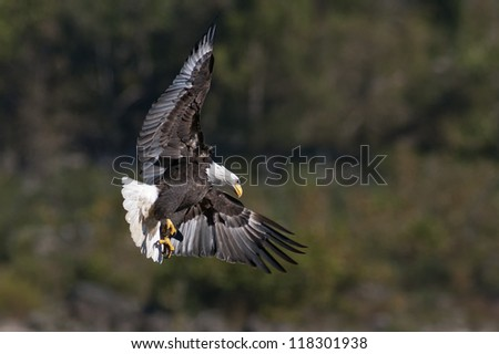 Bald Eagle in flight with wings spread while hunting. - stock photo