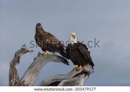 Bald Eagle in Homer Alaska