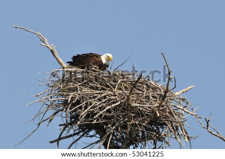 Bald Eagle in it's Nest - stock photo