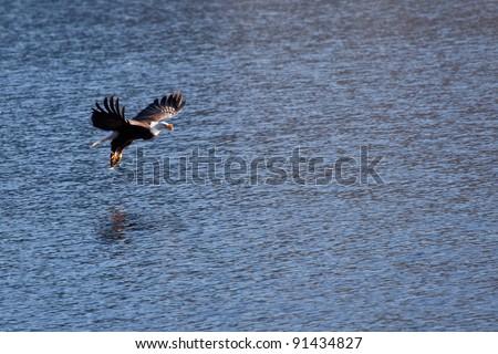 Bald eagle in the air fishing in coeur d alene lake in Idaho - stock photo