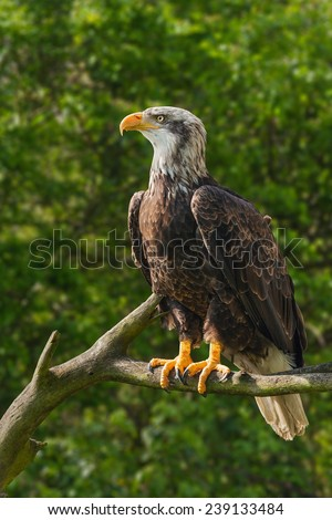 Bald eagle in tree. A majestic bald eagle is seen perched in a tree. - stock photo