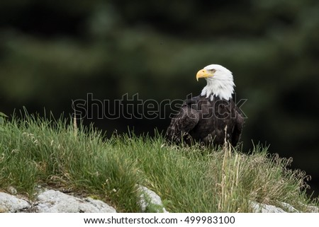 Bald eagle is sitting on a ground.