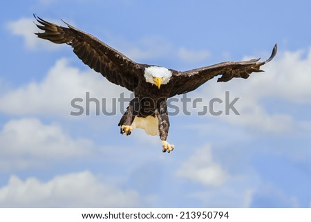 Bald Eagle Landing - stock photo