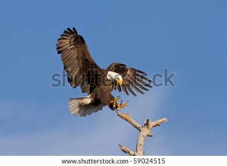 Bald Eagle Landing on Dead Tree - stock photo