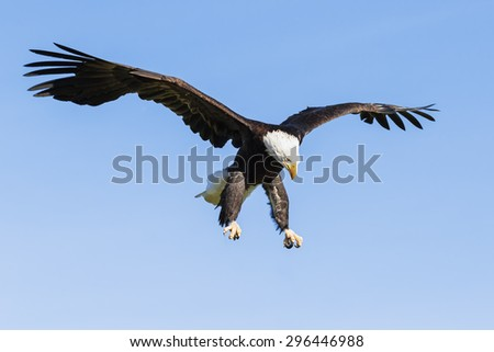 Bald Eagle looking down. A majestic bald eagle surveys the ground below it as it hangs in the air on a sunny day. - stock photo