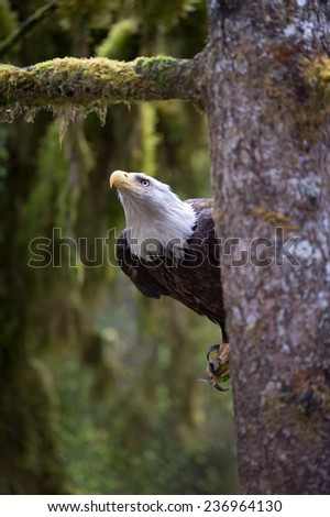 Bald Eagle looking up from a tree branch at other eagles, getting ready to fly - stock photo