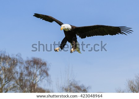 Bald Eagle meaning business. A majestic bald eagle extends its talons as it heads towards its target. - stock photo