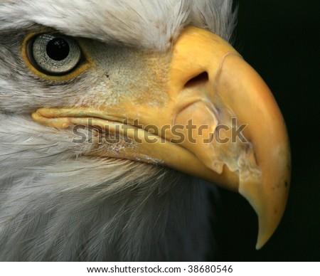 Bald Eagle National Symbol Usa Bird Stock Photo 38680546 Shutterstock