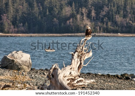 Bald Eagle on a beach near Letnikof Cove - stock photo