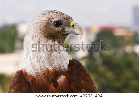 Bald eagle on black. birds of prey. Eagle eyes. Eagle sitting in apartment balcony. Cause of deforestation, unsafe nesting place in city. Predator and scavenger bird. - stock photo